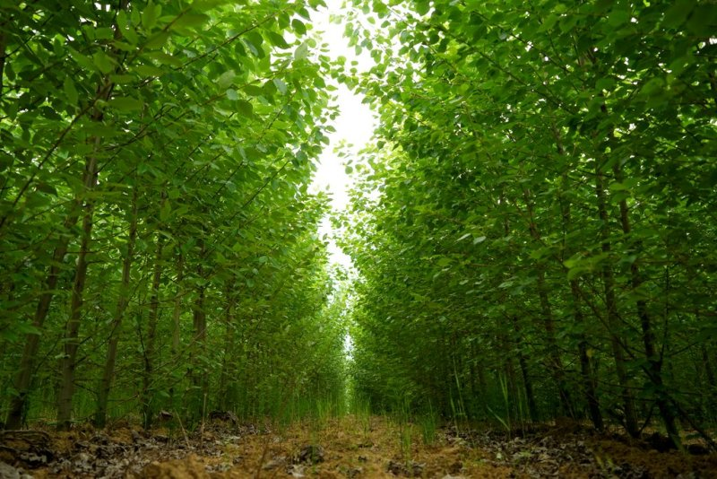 Poplar_Plantation_-_2years_-_Lignovis_GmbH